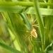 Pavúk v tráve