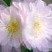 Ruže (multiexpozícia)
