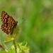 Hájovník prvosienkový