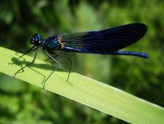 Vážka kráľovskej modrej farby
