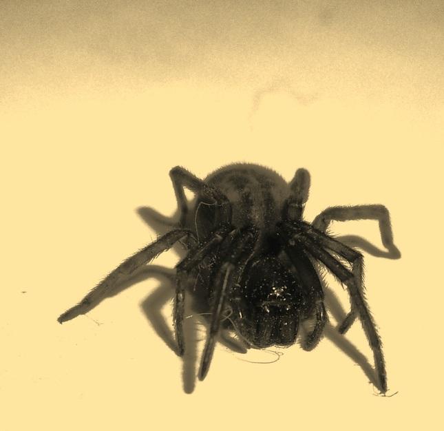 Pavúk v sépii (a prachu:)