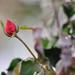 Decembrová ruža