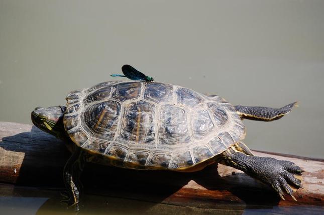korytnačka písmenková