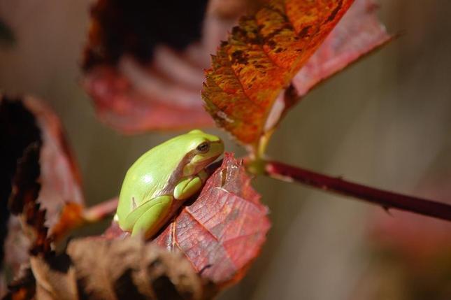žaba žužla