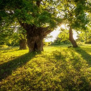 -V tieni starých stromov II-