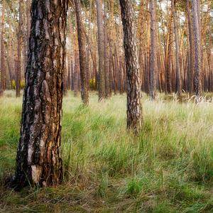 -Borovicový les-
