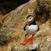 atlantic puffin alebo alka bielo