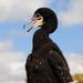 Maly kormoran s afro ucesom