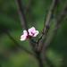 prvy kvet