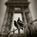 Dva holuby pod Eiffelovkou