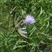 motyl na kvete