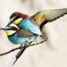 vtáčie slasti (včelárik zlatý)