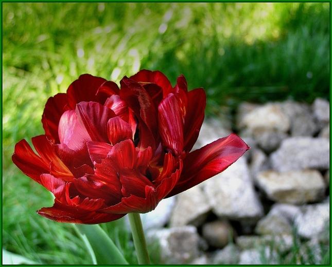 obyčajný-neobyčajný tulipán