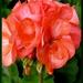Balkónová kvetinka
