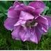 Tulipán z našej záhradky