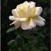 Uplakaná ruža