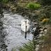 Labute na rybníku