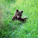 Medvieďa