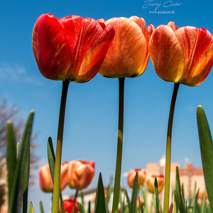 Tulipánová