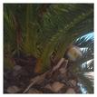Palma loptoplodá