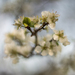 kvet ringloty