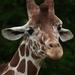 žirafa- Žofka