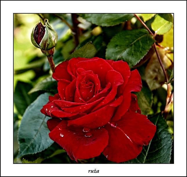 ruža II