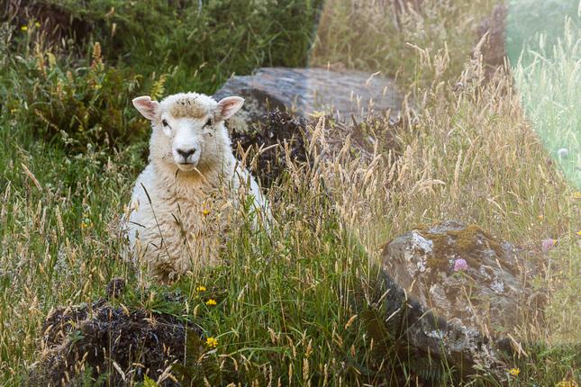 O ovečke a prasiatku