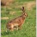 Zajac velky