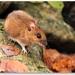 Myšica lesna