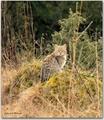 Mačka diva