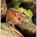 Myšica