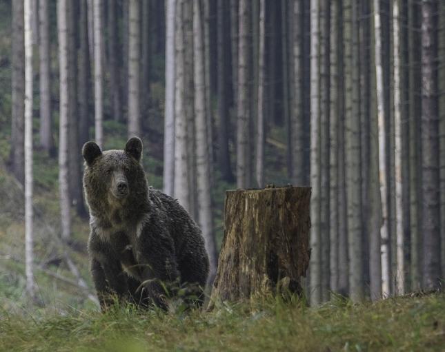 medvedica
