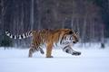 tiger ussurijský