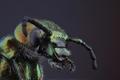 chrobačik zelený