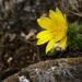 Jarná žltá