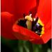 Fan fan tulipan.