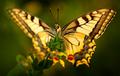 V posledných lúčoch - Papilio m.