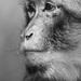 Smutna opicka