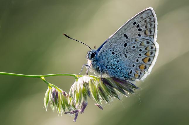 Modráčiková