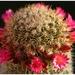 Mammillaria spinossisima