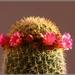 Mammillaria spinossisima part 2