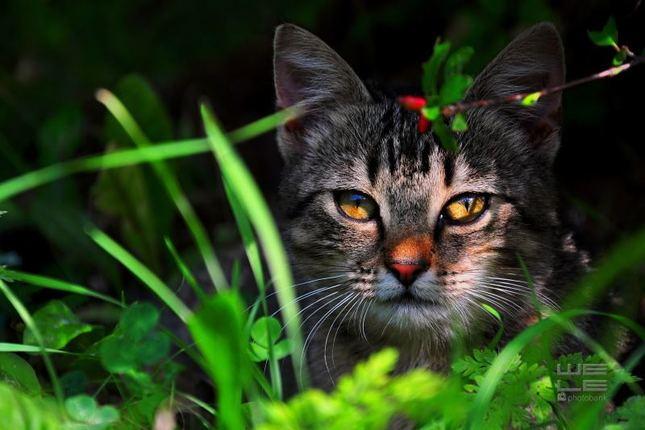 Mačka skorodomáca