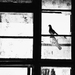 Dúm holubí