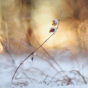 Zimná tanečnica.