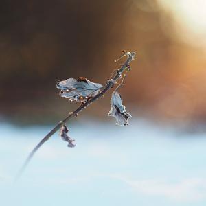 Vykúkajúc spod snehu.