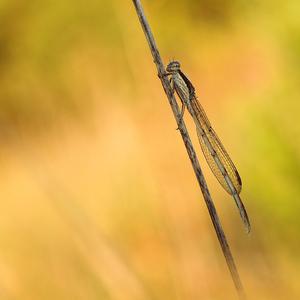 Jesenné šidielko.