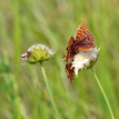 Motýlie pohladenie.