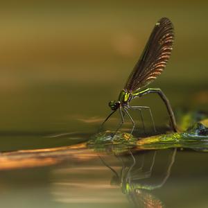Calopteryx.