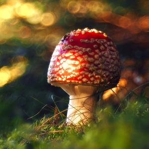 Červená pani lesa II.